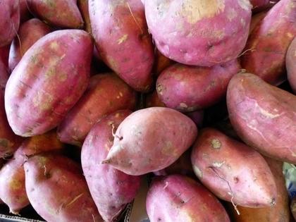 たくさんのサツマイモ