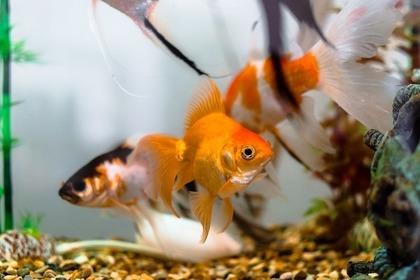 カラフルな金魚