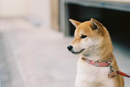 可愛いしば犬