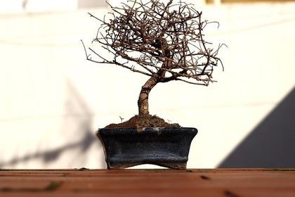 枯れたミニ盆栽