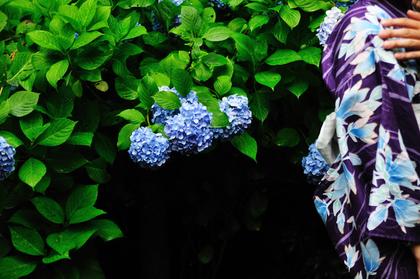 紫陽花と浴衣女性