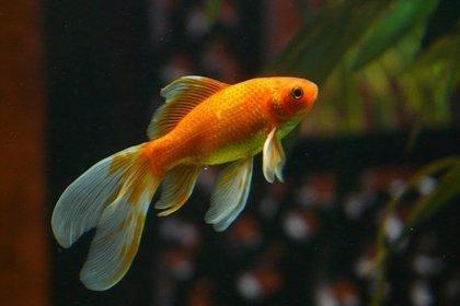 一匹の金魚