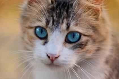 ブルーの目の猫