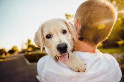 男の子に抱きかかえられるゴールデンレトリバーの子犬