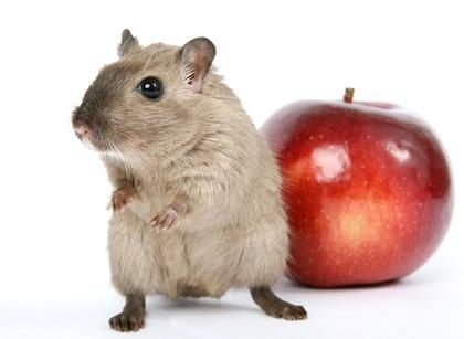 りんごとハムスター