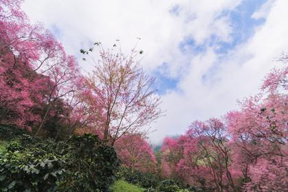 桜が満開の様子