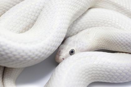 白蛇 待ち受け 効果